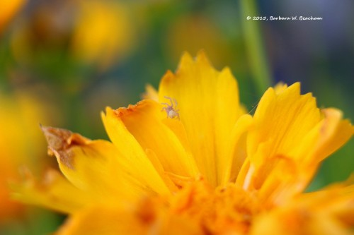 A very tiny spider on coreopsis