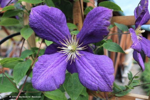 Another clematis