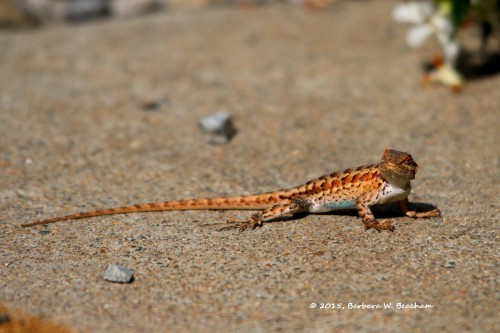 Meet the western fence lizard