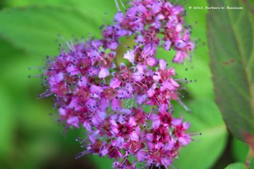 Spirea blossoms