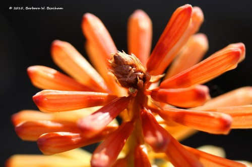 The top of a red hot poker