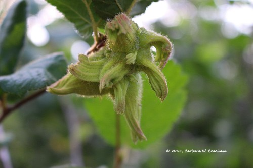 Developing hazelnuts
