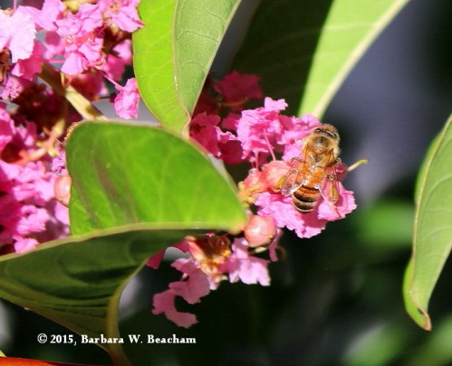 Honeybee on Crepe Myrtle