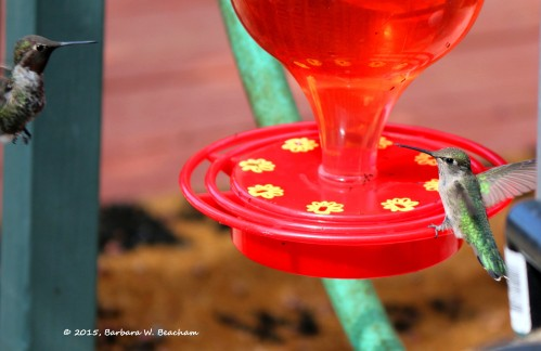 Hummers and ants at the bird feeder
